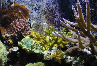 Feeding Corals - Keeping Your Saltwater Invertebrates Healthy