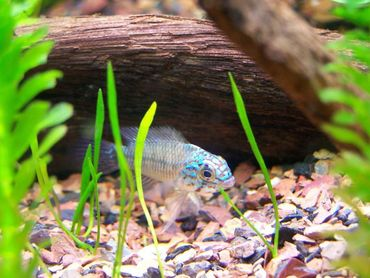 Using a Gravel Vacuum in the Home Aquarium