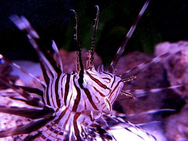 Keeping Lionfish in the Home Aquarium