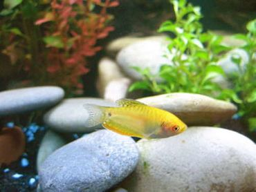 Tips for Breeding Gouramis in the Home Aquarium