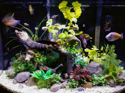 36 gallons freshwater fish tank (mostly fish and non-living decorations) - 36 gallon freshwater aquarium with rock driftwood and artificial plants