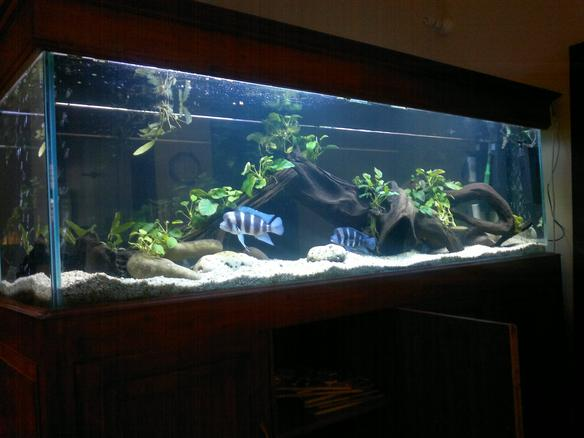 Photo 2 Frontosa Tank African Cichlids From Lake
