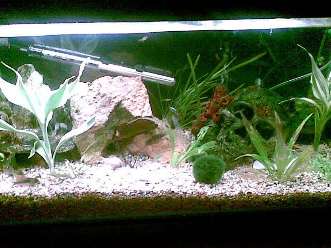 fish tank picture - this is our 3ft guppy tank with cory dory cats, albino and singing catfish