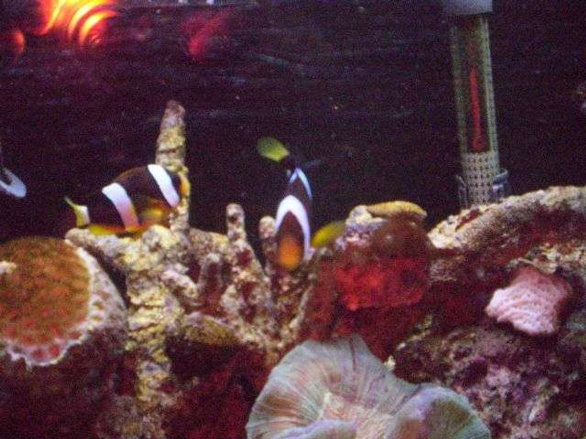 fish tank picture - Mated Clarks clown fish