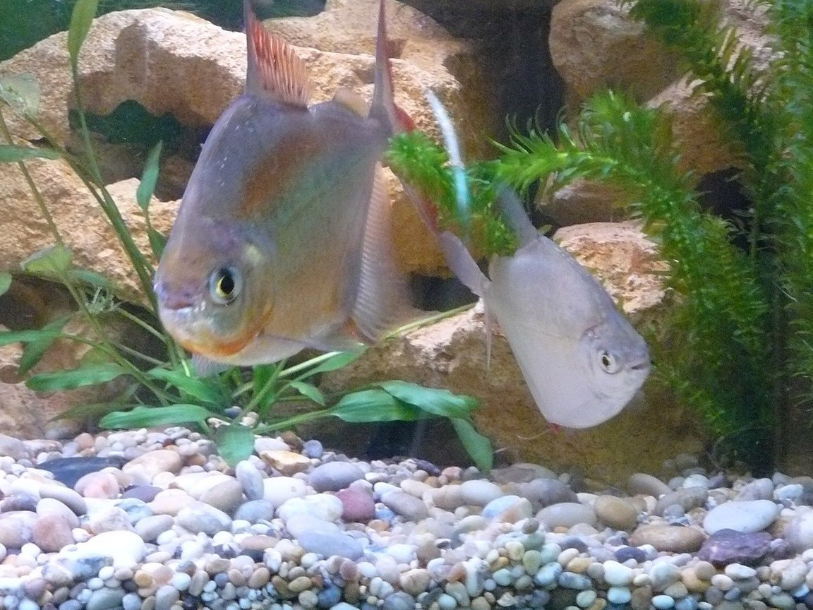 fish tank picture - My 7 year old Silver Dollar and new female partner. Love is in the air already!!!