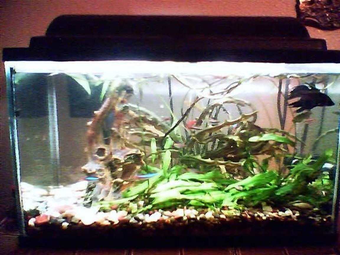fish tank picture - 10 Gallon Tank, White Cloud Minnows, Cherry Barbs, One Giant Oyster