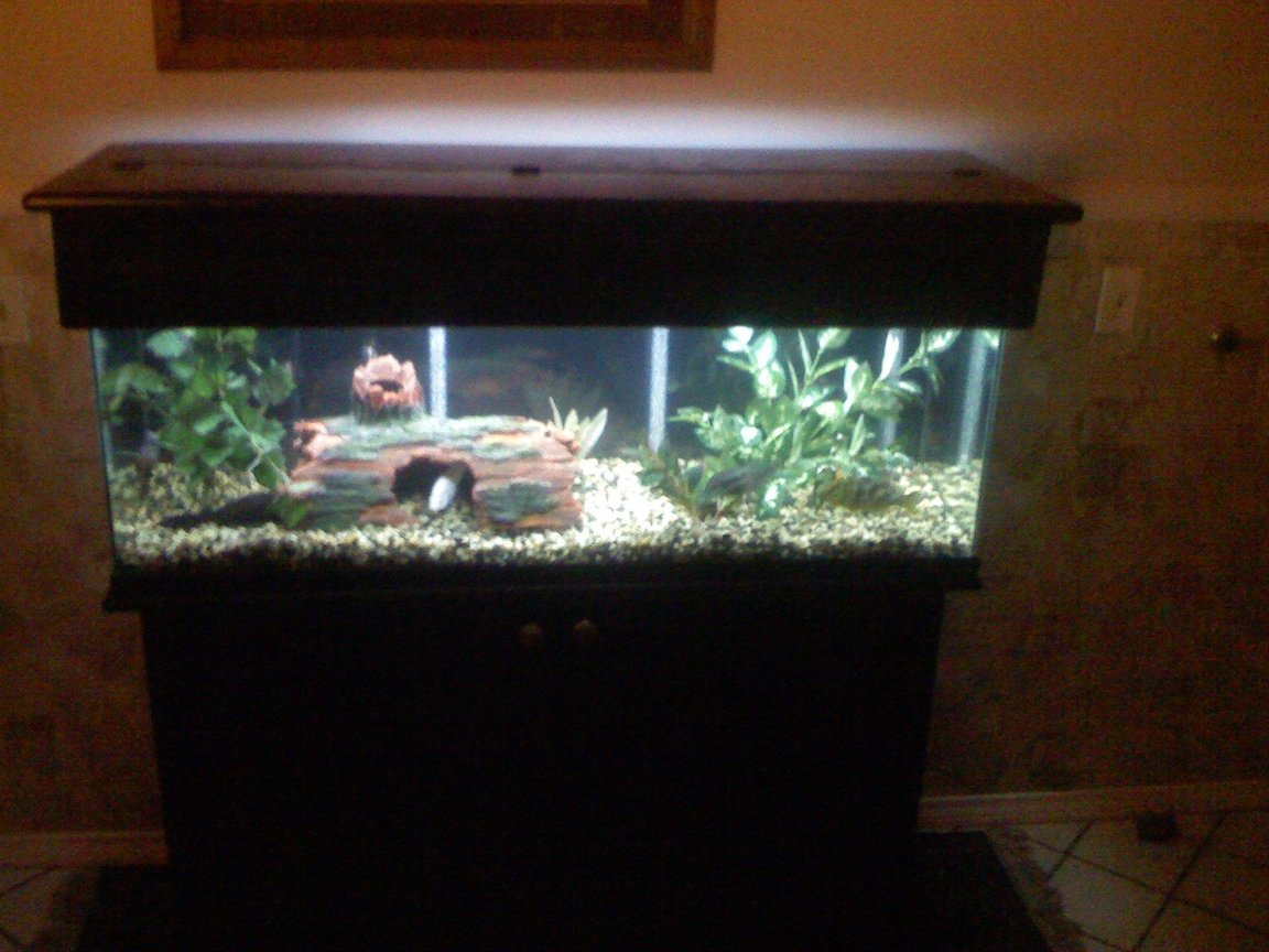 fish tank picture - a 60 gallon tank that contains 10 total fish, 3 south american and 6 african cichlids and one placostamous, two filters used a canister and undergravel filter, photo of the tank with the stand and canopy , sorry for being a bit blurred