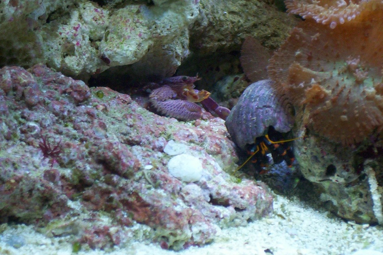 fish tank picture - Halloween hermit crab and porcelin crab