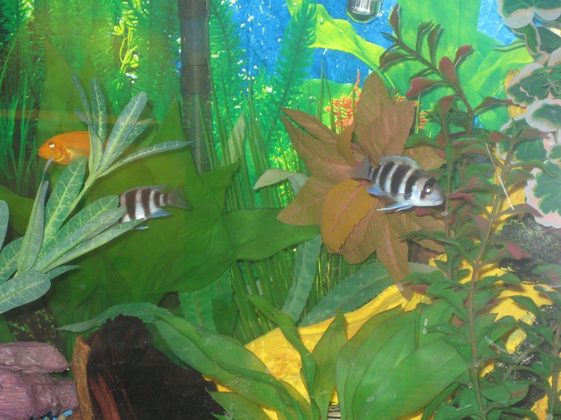 fish tank picture - our two smaller frontosas