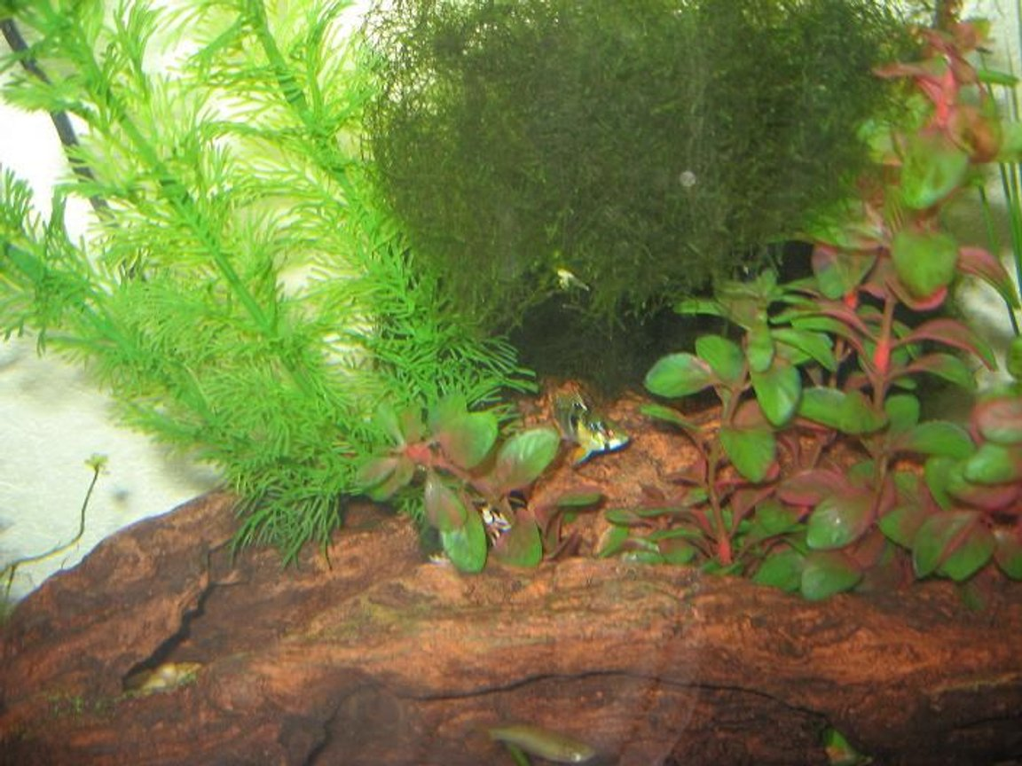 fish tank picture - Pre-planted Tank: Ram Cichlid and Java Moss between two plastic plants