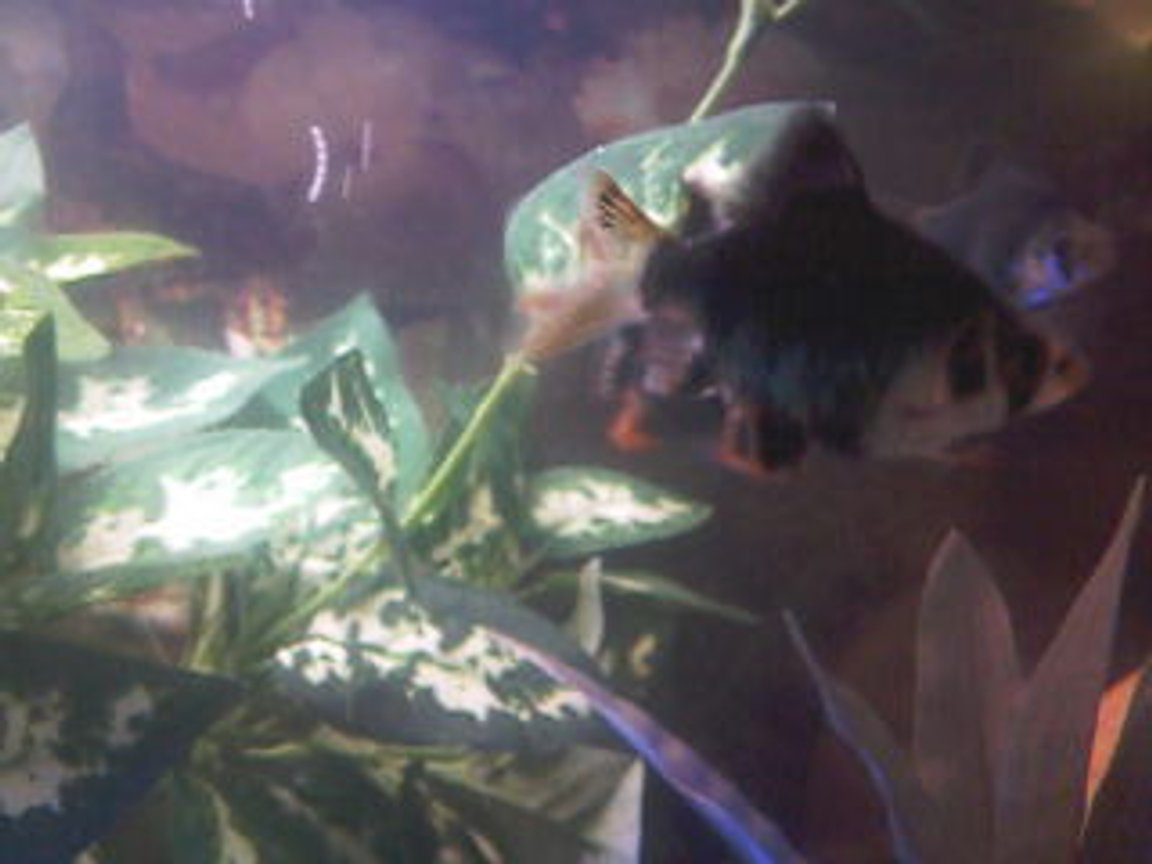 fish tank picture - Green Tiger Barb