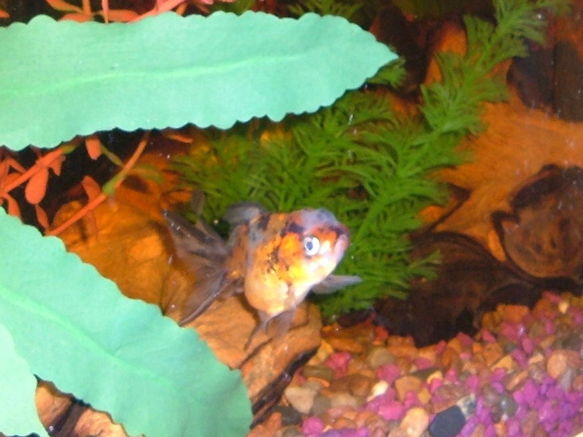 fish tank picture - one of my calico goldfish