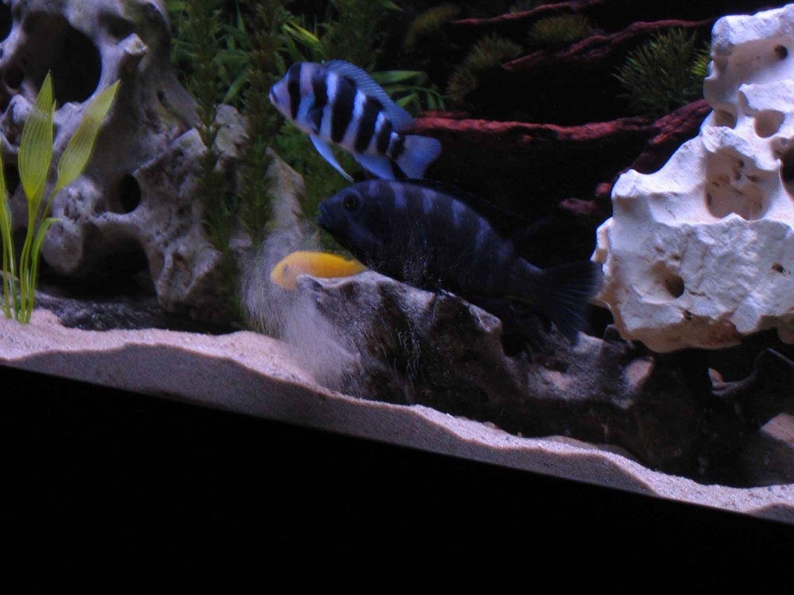 fish tank picture - Bumblebee Cichlid making himself a home