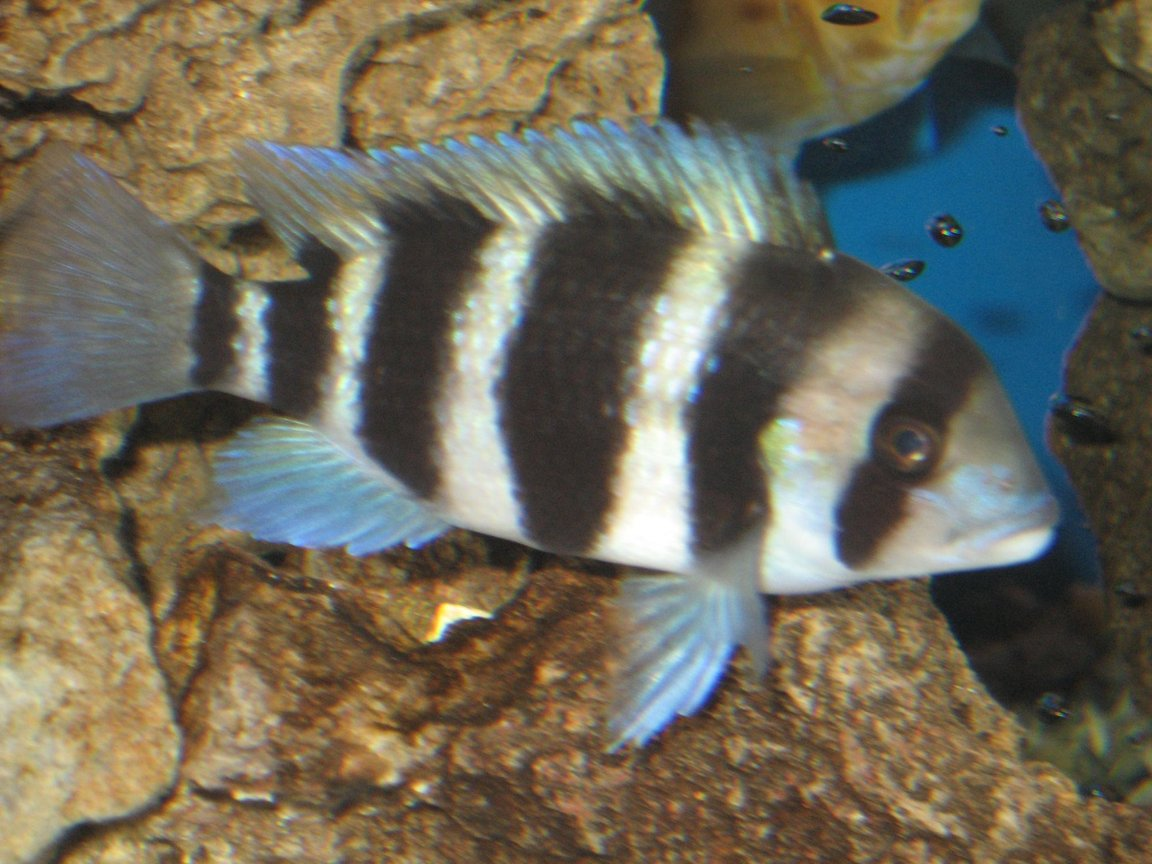fish tank picture - Frontosa