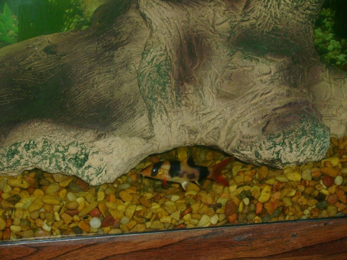 fish tank picture - clown loach