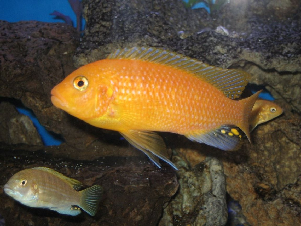 fish tank picture - cichlid