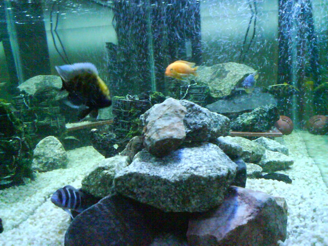 fish tank picture - 120g african cichlid tank