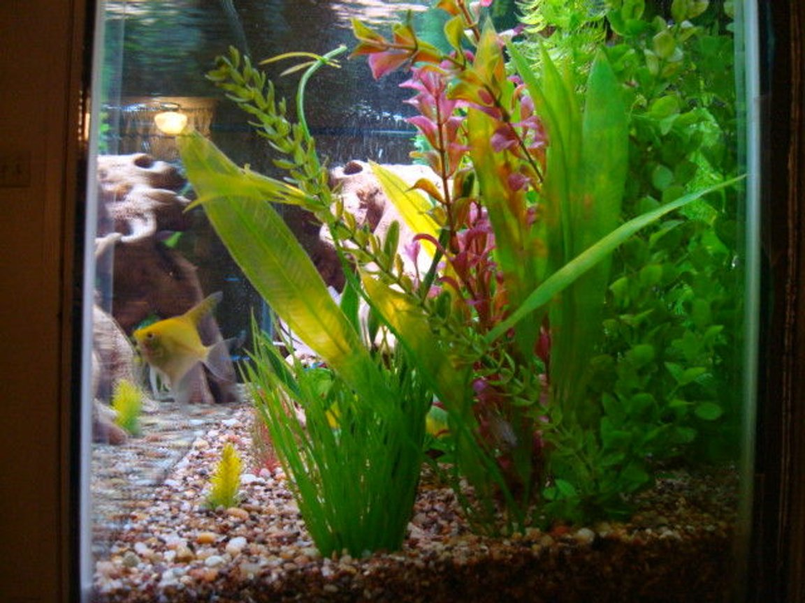 fish tank picture - View looking from one end of the tank to the other at the bottom to show water clarity and depth of the plant bed. Fish pictured is Angel and paradise gourami at the bottom in the plants.