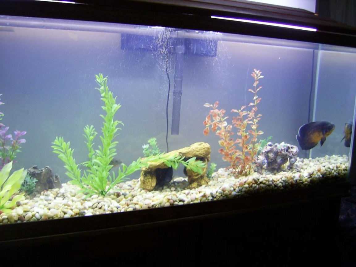 fish tank picture - 55 gallon Freshwater