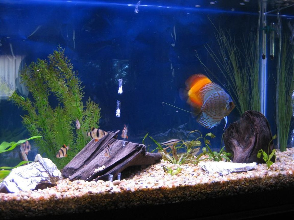 fish tank picture - Discus My 38 Gallon Aquarium, 3 Discus, 6 Tiger Barbs, 3 Chinese Algae Eaters, one Gold Nugget Pleco, and a Gold Chinese Algae Eater. I'm using a Marineland C-Series Multi Stage Canister Filter C-220, the best fiter out there. I personaly think this filter is better then the Eheim, because it allows no bypass, it forces the water through the filter media trays and not around them, all the other canisters allow 40% to 60%.