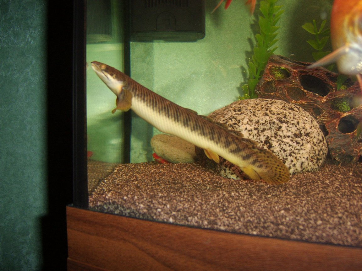 fish tank picture - cuvier Bichir