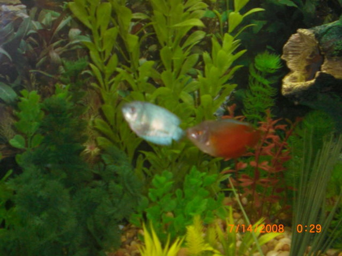 fish tank picture - gouramis