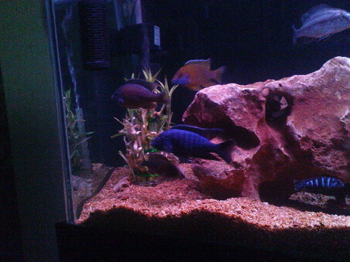 fish tank picture - Electric blue Cichlid