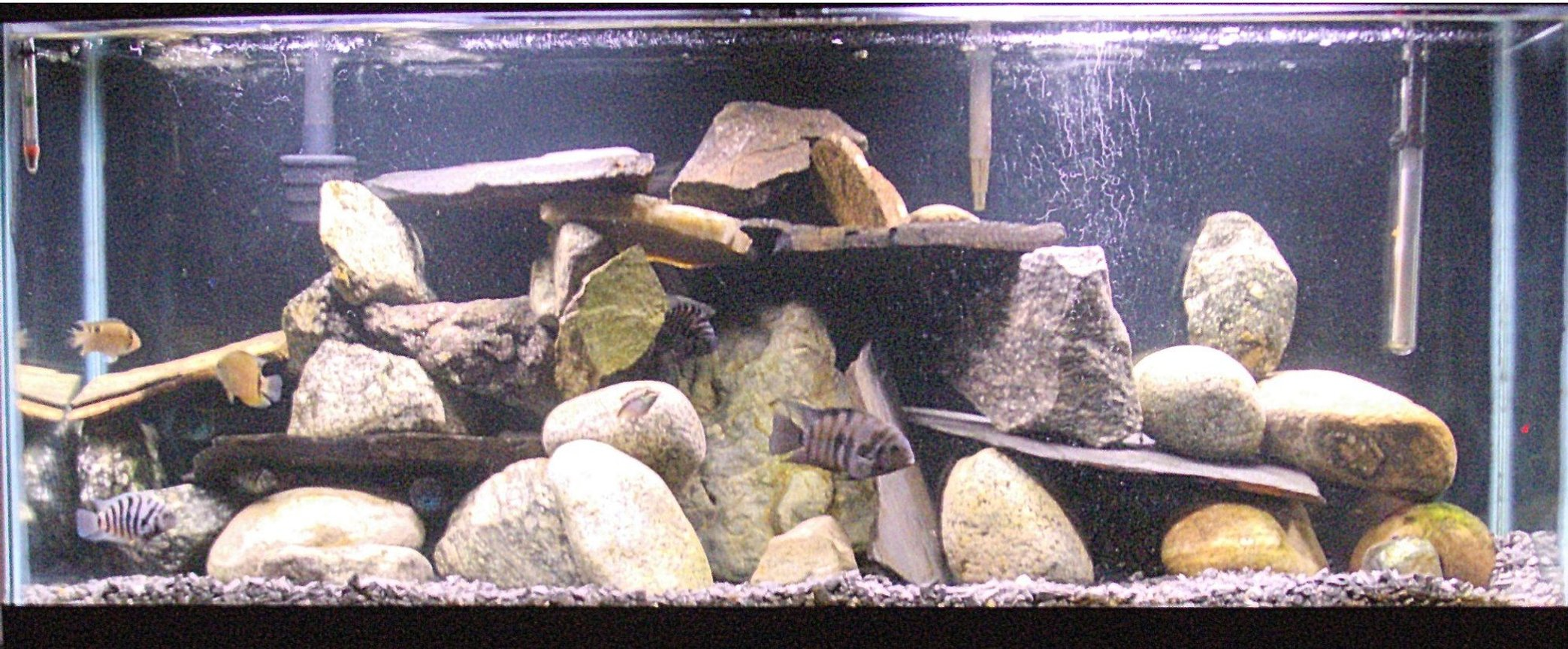 fish tank picture - My 55 gallon. All rocks, Lots of convict Cichlids(they breed like rabbits) a couple of Jack Dempseys, Clown loaches, Severums, a Krib, a Ram, and a couple of plecs. Most of these guys are camera shy.