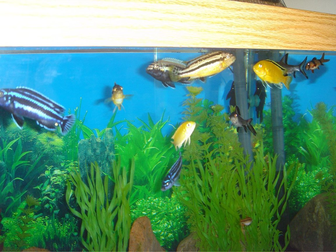 fish tank picture - Close up of some of our Cichlids.