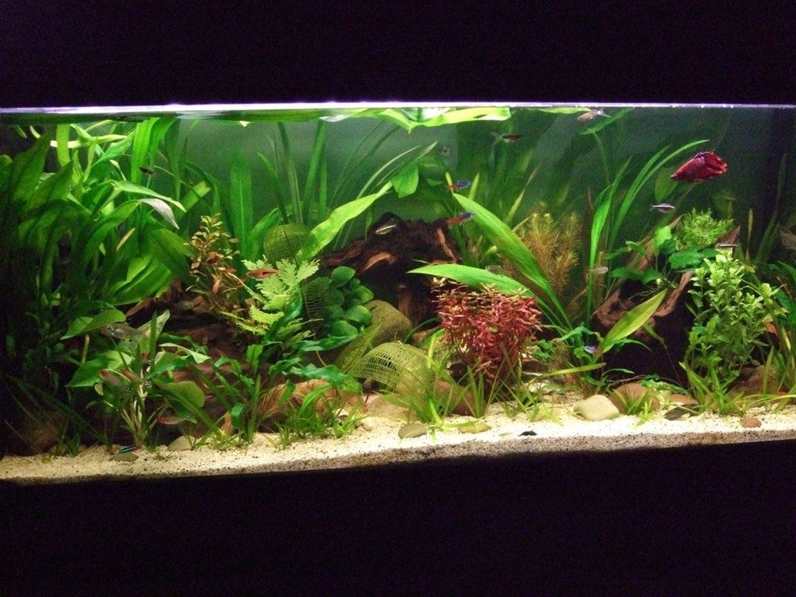 fish tank picture - Peaceful Community Planted tank
