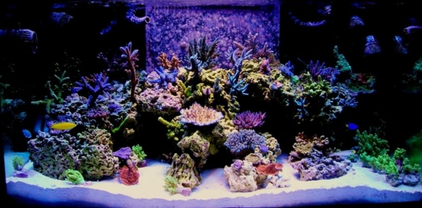 fish tank picture - 120g tech tank sps,and rare green Nepthea ,ans some Sinularia ,400w Reeflux 10k ,2 250w Radium 20k on the sides ,3 Uri vho super actnics,1 actinic white vho Uri,2 fiji purple t5 ,Octo Extreme 250 skimmer,Geo 618 cal/reactor,mag 18 ,2 Ecotech Vortecs, #2 Hydor Koralia,and a #3 and a #4,150lbs Marco rock ,170lbs approx live sand ,Seachem reef salt the only salt I will ever use #1 in my book,I dose Mag,Iodine,Strontium,Potassium,only when needed which is very rare with this salt mix,Zeovite Amino acids ,and Zooplankton ,and lots of fish food I over feed my fish to keep my coral color where I like it .Some gfo in a reactor