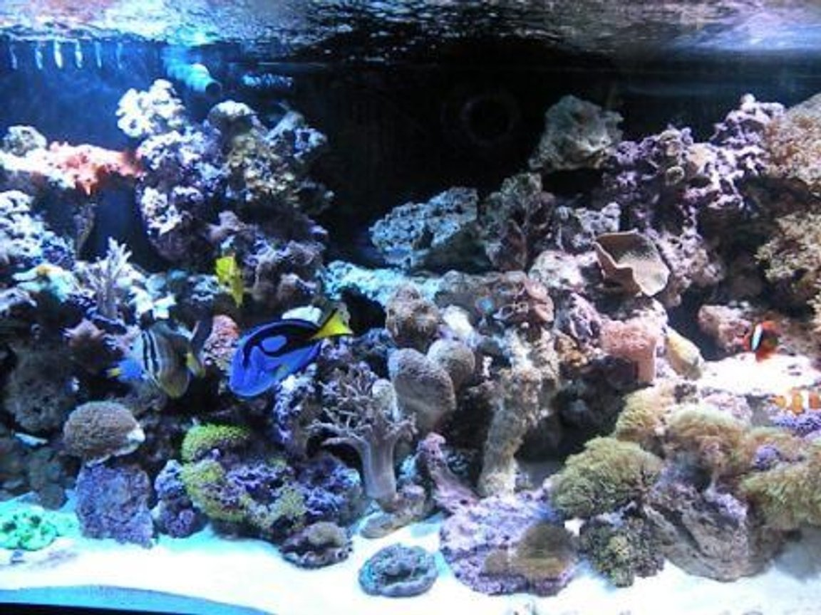 fish tank picture - Hippo tang & friends