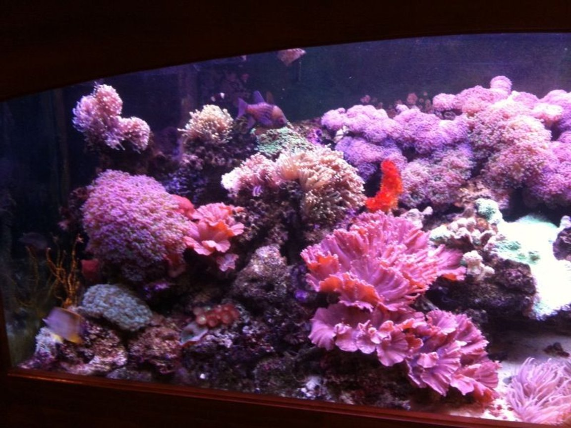 fish tank picture - A picture of the left side of the tank, mostly assorted torches and lettuce coral