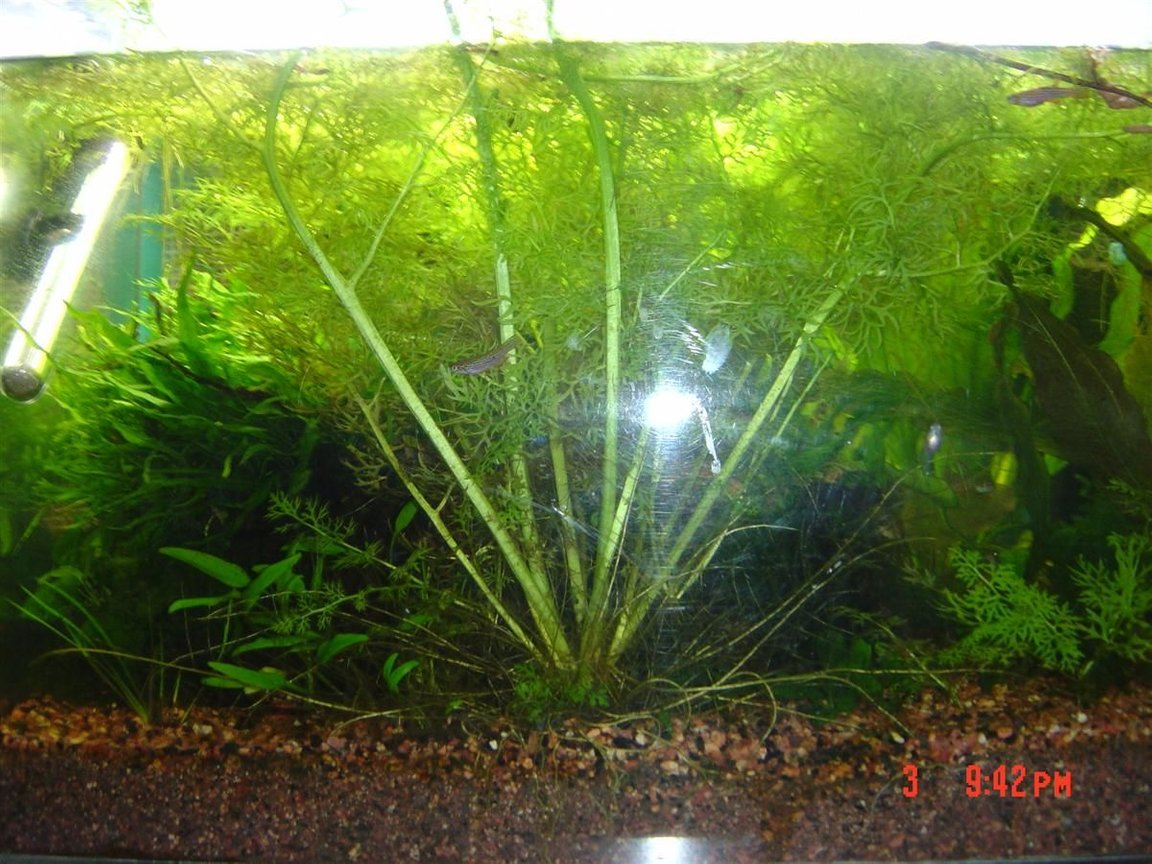 fish tank picture - water sprite and killifish