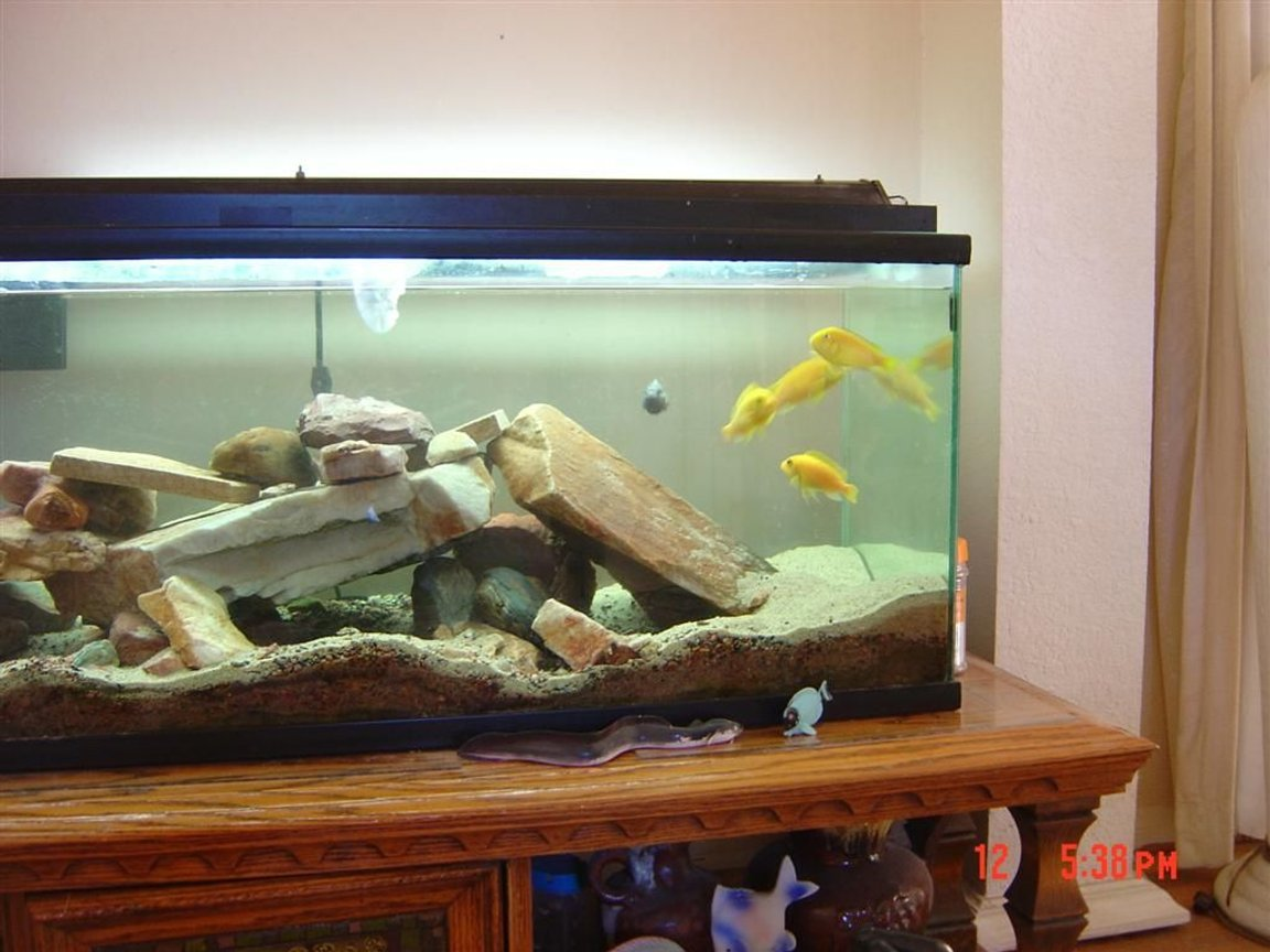 fish tank picture - Cichlids feeding
