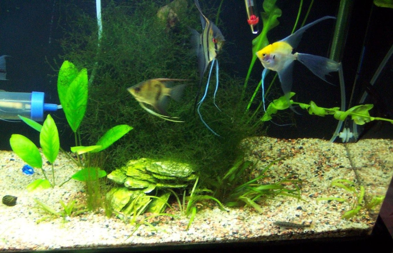 fish tank picture - nice angels