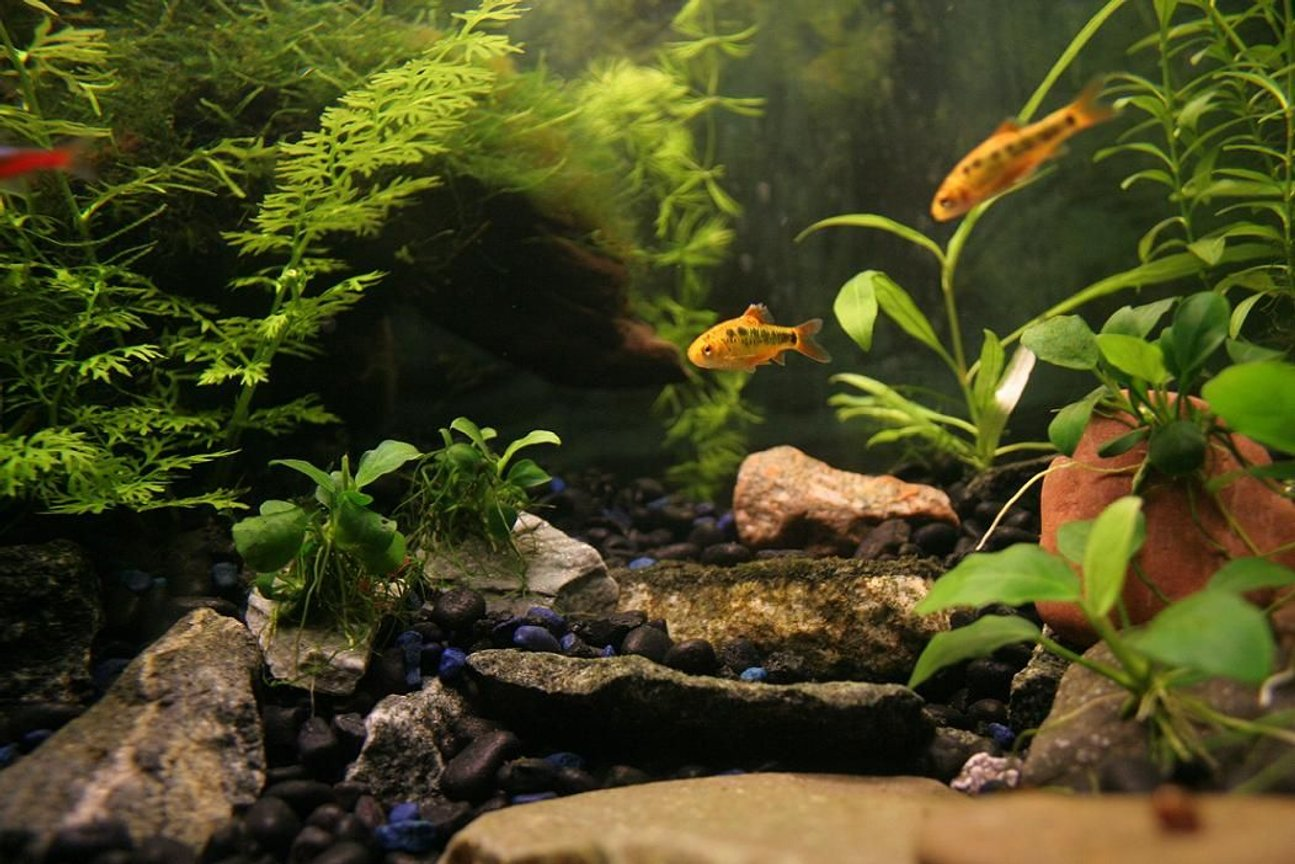 fish tank picture - Golden Barbs