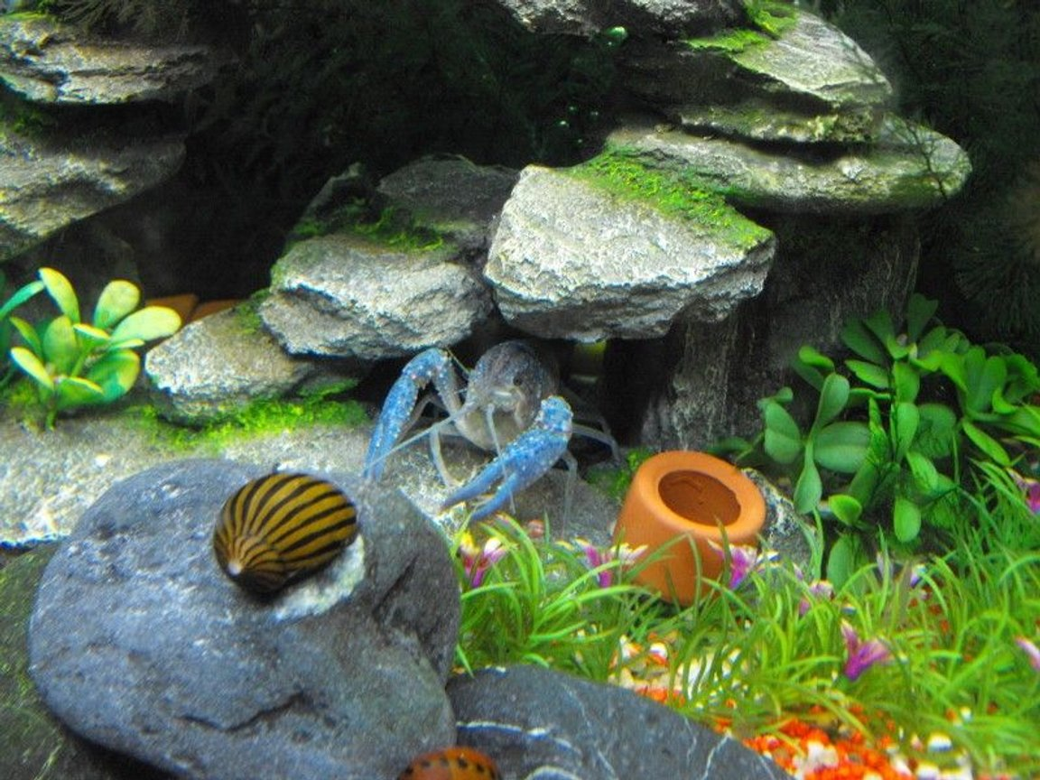 fish tank picture - My Blue Lobster