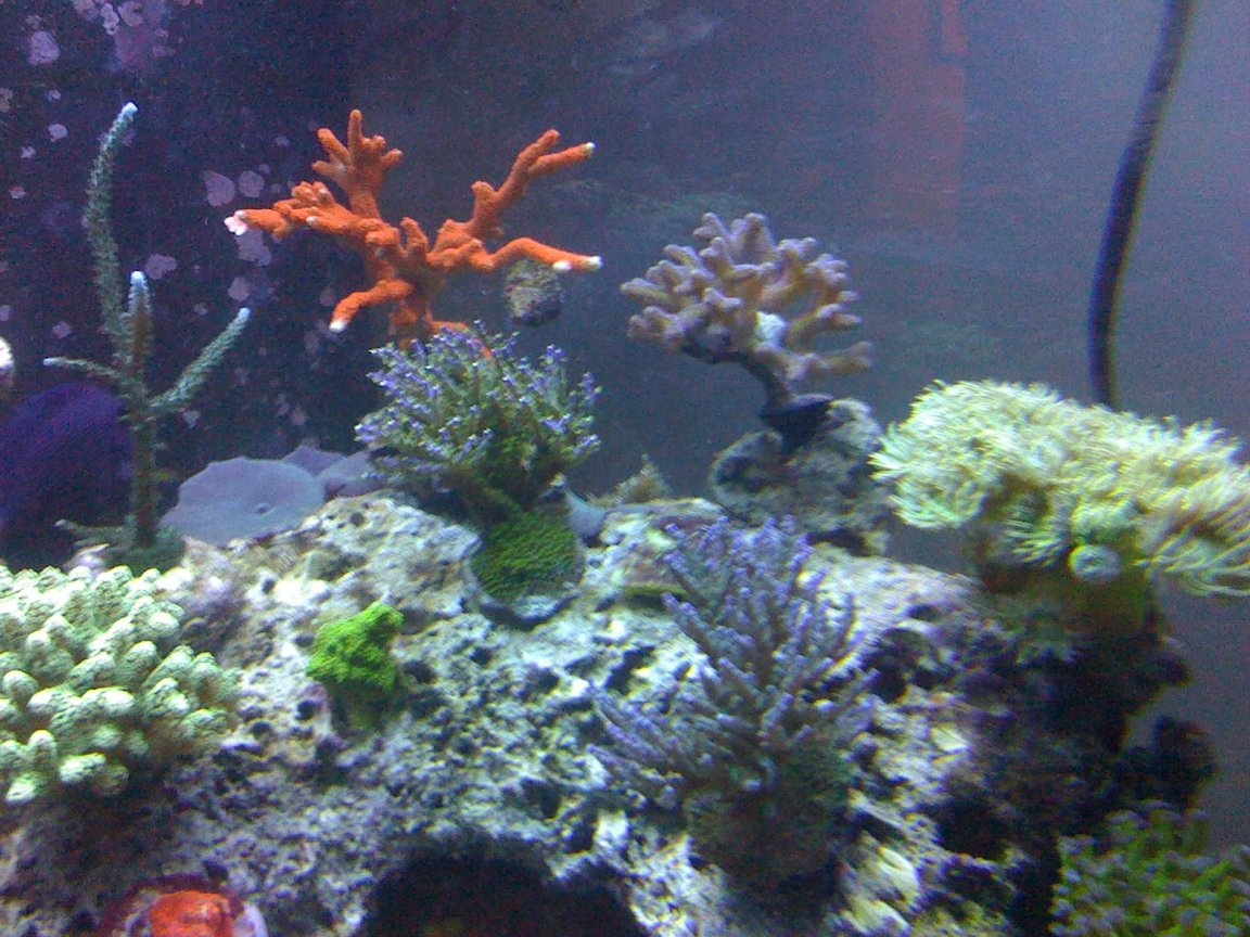 fish tank picture - More of my SPS
