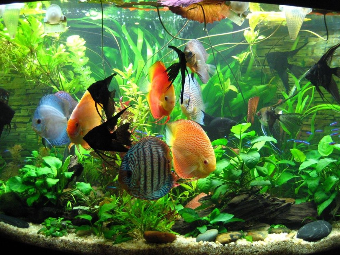 fish tank picture - Group of my Discus waiting to be fed