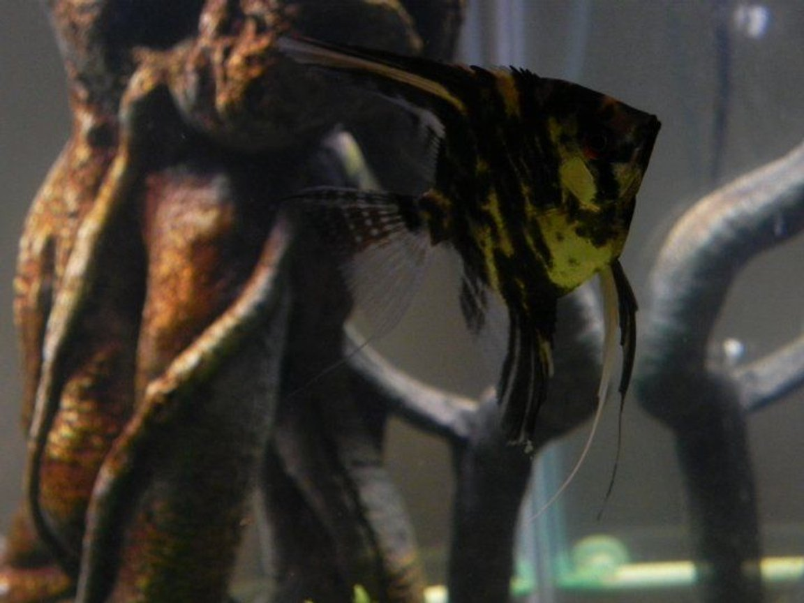 fish tank picture - 75 gallon amazonia. Marbled Angelfish posing for a photo.