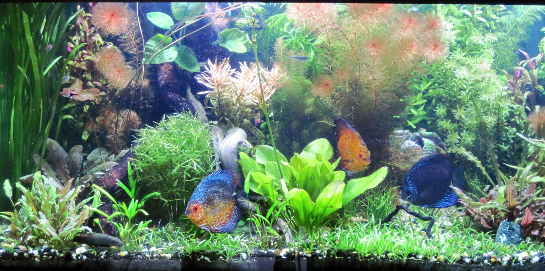 fish tank picture - A few of my discus.