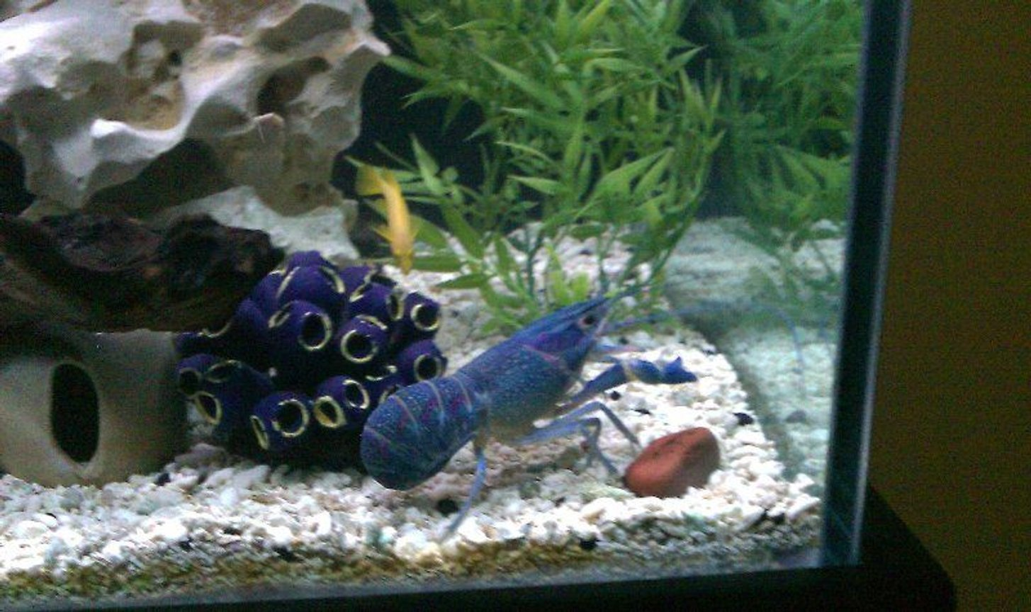 fish tank picture - Blue Cobalt lobster
