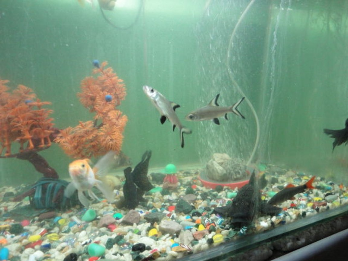 fish tank picture - bala shark,rainbow shark,black moore,orenda gold fish and big leoperd pelco