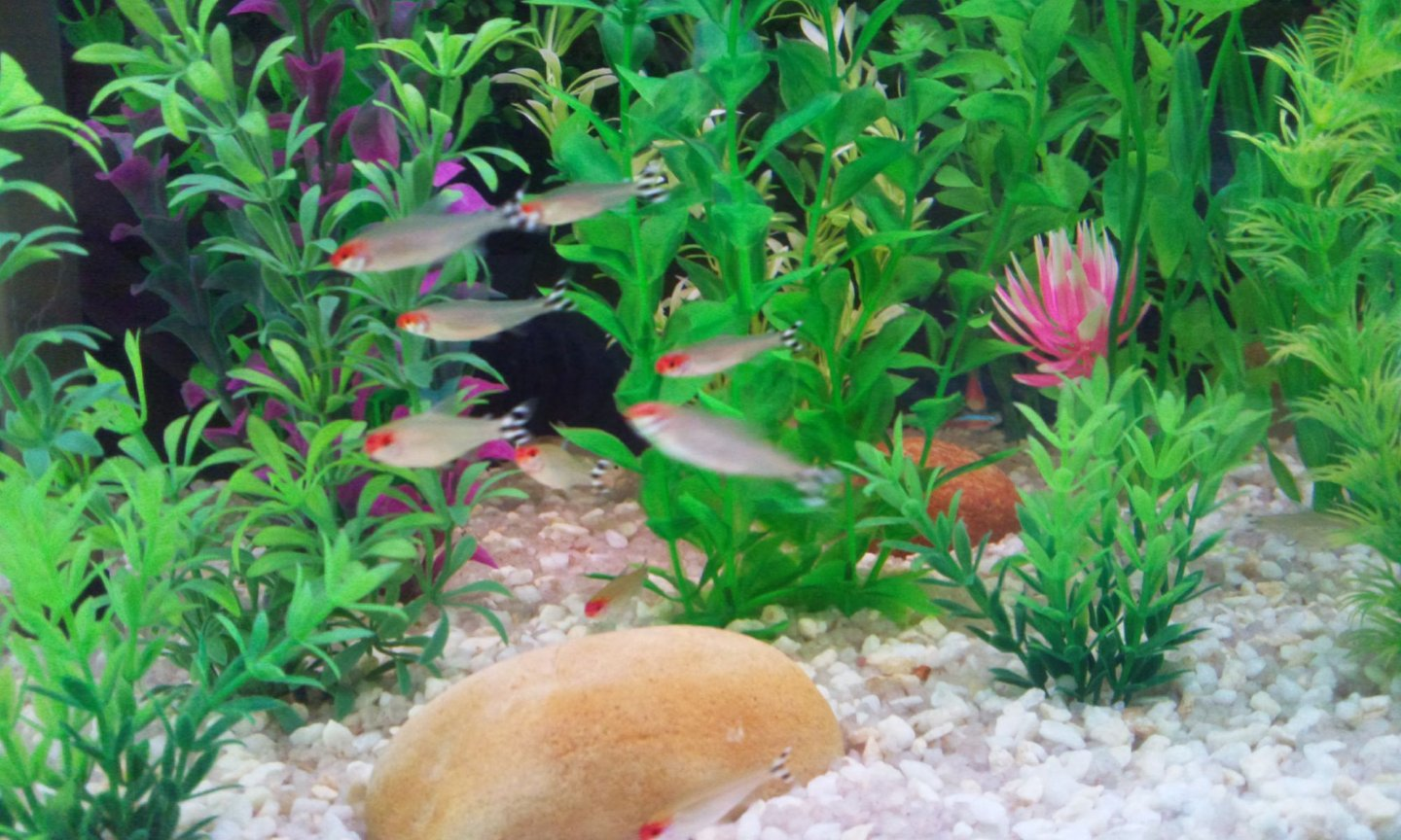 fish tank picture - My Rummy noses...