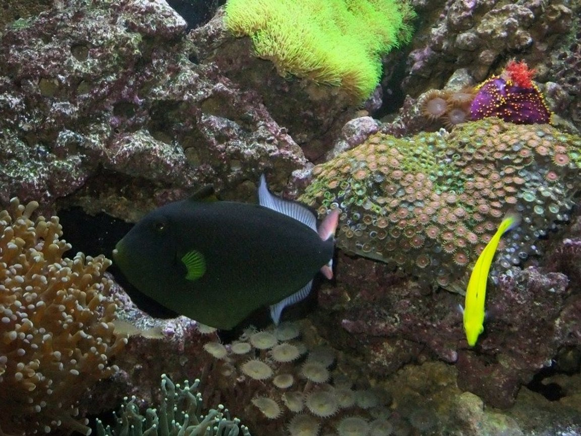 fish tank picture - Pink Tail Trigger and Sea Apple