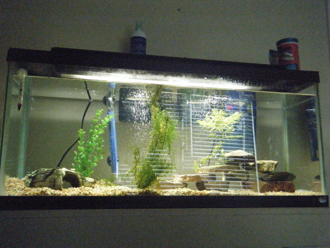 fish tank picture - 55 Gallon Starter, 2 HOB filters one 60 gallon top fin and a standard 10 gallon, 300 watt heater, thermometer, 5 convicts and 1 green terror
