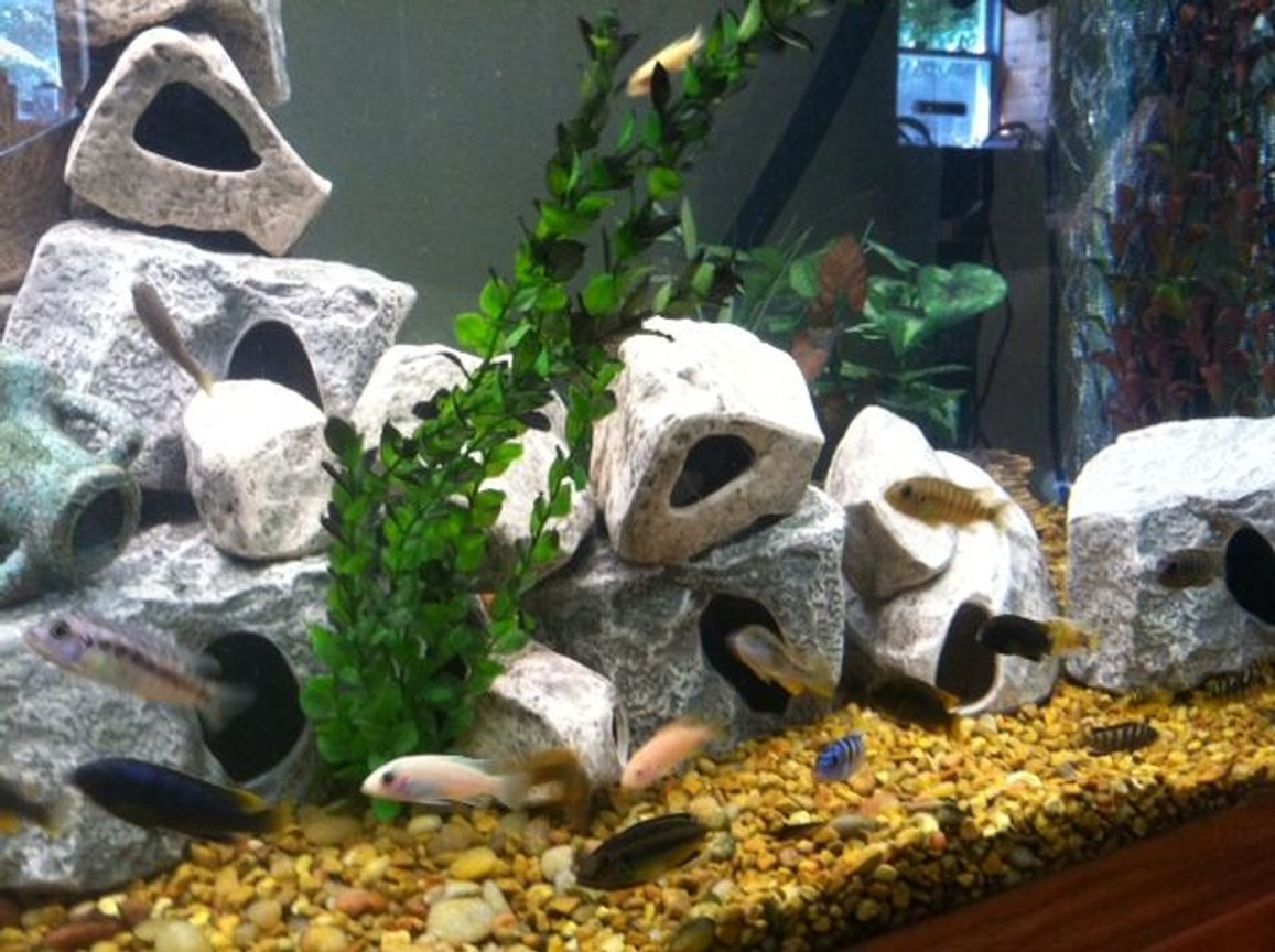 fish tank picture - Mbuna matata, right side of tank
