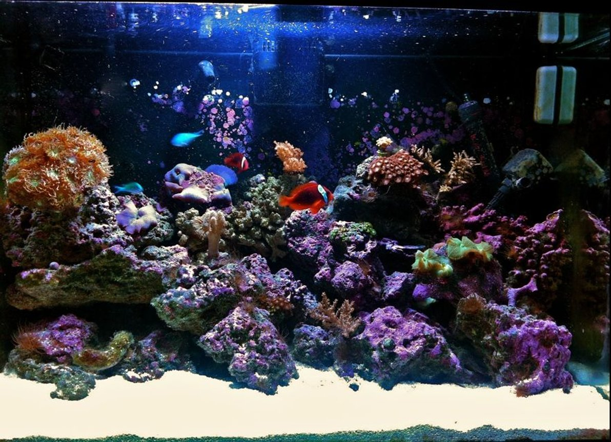 fish tank picture - 65 Gallon Reef tank by Reefality