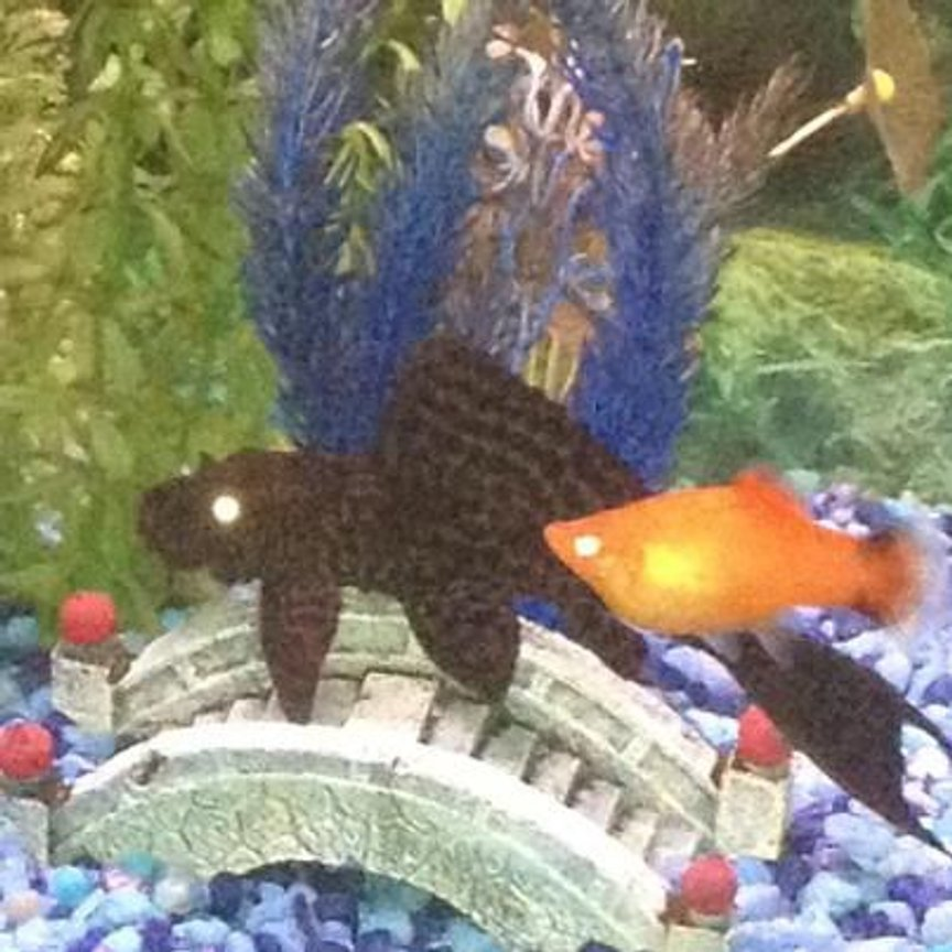 fish tank picture - One of my Platys conversing with my Sailfin Plecostomus about the fiscal cliff.